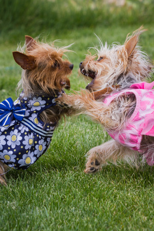 two small young puppies paying outside on green spring grass wearing summer dresses photo