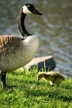 gosling: baby gosling feeding on green spring grass with a parent watching over him
