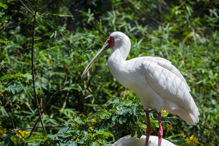 closeup of an african spoonbill over a natural green background