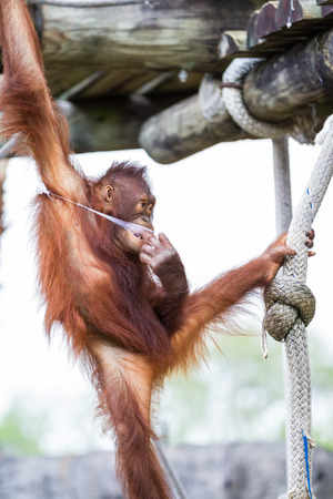 young orangutan holding on to a rope on top of a pole at the zoo photo