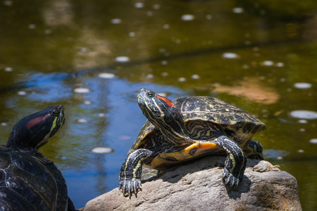 portrait of a turtle sunbathing on a rock by the pond Banco de Imagens - 29728418