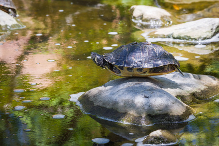portrait of a turtle balancing on a rock by the pond Banco de Imagens - 29728416