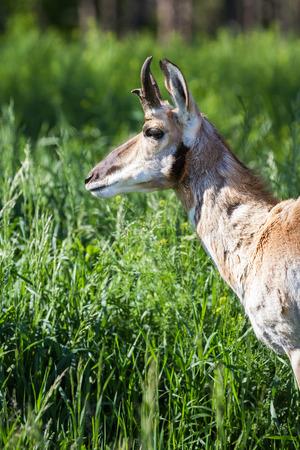 riek: close-up van een tand hoorn antilopen over groene lente gras