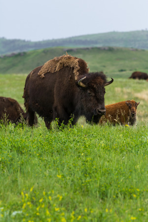 native american baby: wild american buffalo family in the grasslands of South Dakota
