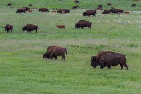 large wild american buffalo herd in the grasslands of South Dakota