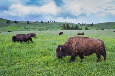 large wild american buffalo herd in the grasslands of South Dakota photo