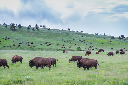 large wild american buffalo herd in the grasslands of South Dakota