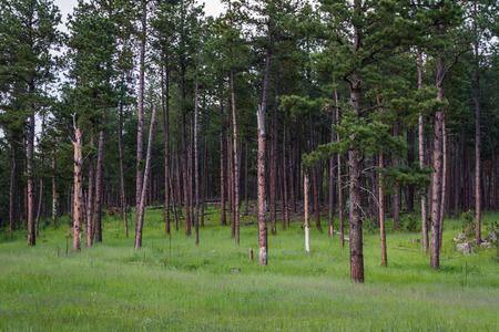 ponderosa: natural background with pine trees in springtime, Custer state park, South Dakota