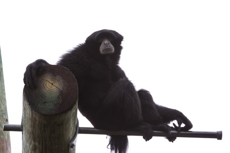 siamang: adult male siamang at the florida zoo demonstrating agility and strength