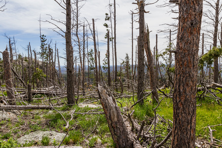 devastated: dead pine trees in the black hills national forest after almost 20 years of a pine beetle epidemic