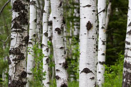 quaking aspen: birth with white bark close up in springtime with green leaves Stock Photo