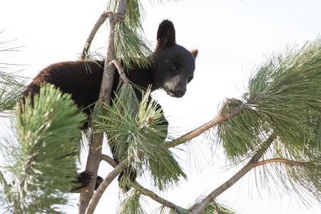 small black bear cub climbing a pine tree in south Dakota