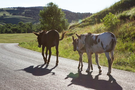 pack of wild burros walking on the road at sunset photo