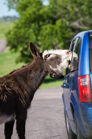 wild burros on the road asking tourists for a treat in Custer state park, South Dakota photo