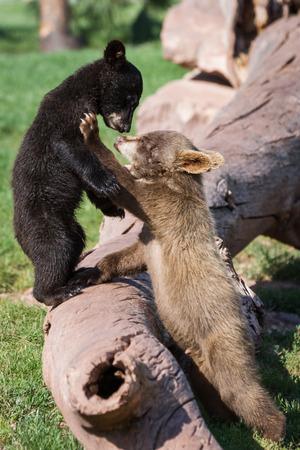 oso negro: cerca de dos cachorros de oso jugando duro con hierba verde