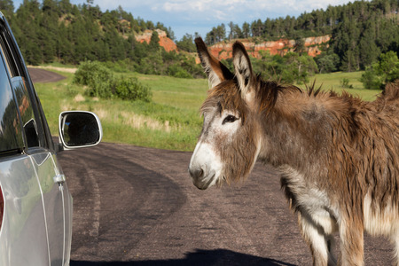 portrait of a friendly wild burro staring at a car window photo