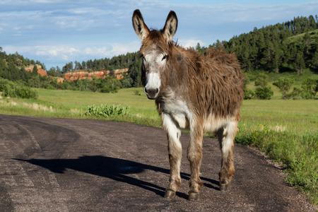 lone wild burro on the road in Custer state park South Dakota photo