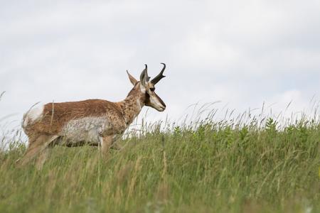 riek: volwassen mannelijke riek hoorn antilopen lopen op groen gras in Zuid-Dakota