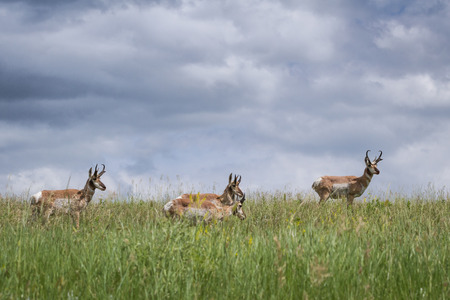 prong: adult male prong horn antelope walking on green grass in South Dakota