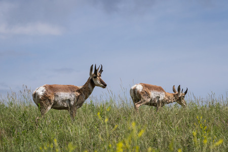 riek: volwassen mannelijke riek hoorn antilopen lopen op groen gras in South Dakota