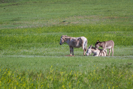 wild burros in the grass lands of  Custer state park, South Dakota photo