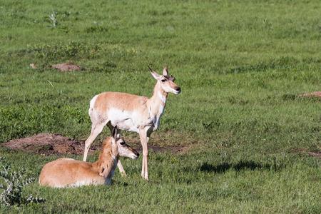 riek: twee vrouwelijke riek hoorn antilope in Custer State Park, South Dakota