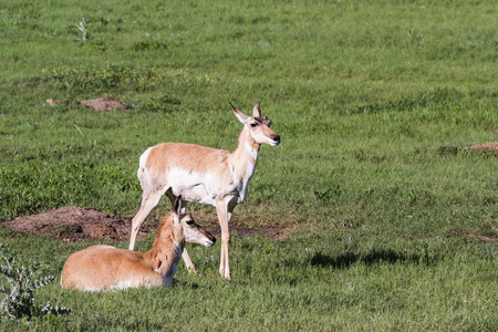 two female prong horn antelope in Custer state park, South Dakota photo