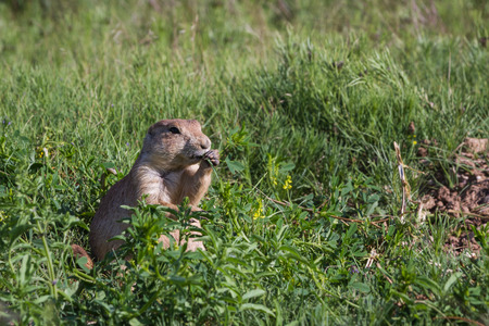 rasa: close up of a black tailed prairie dog in the rasa lands of Wyoming