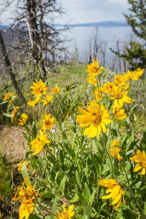 美しい春に黄色花を数年前、野生の火が、そのパス内のすべての生命を消費していた