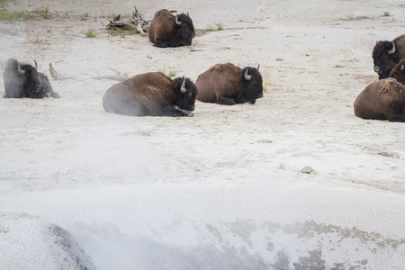 heard: disown or buffalo heard near a steam vent in yellowstone with sulfur and other minerals flowing in the air