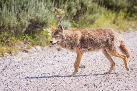 perceptive: caccia coyote selvaggia per la prima colazione nella prateria del Grand Teton National Park in Wyoming