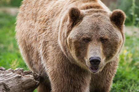 close up of an adult grizzly bear on green grass Banque d'images