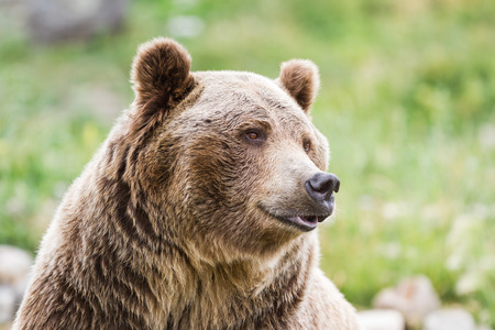 grizzly bear: close up of an adult grizzly bear on green grass Stock Photo
