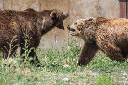 aggressively: two young adult grizzly bears playing aggressively establishing dominance