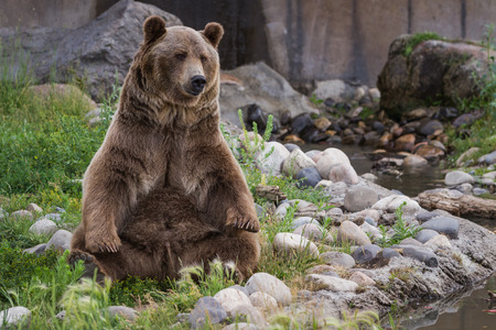 rear end: adult male grizzly bear sitting on his rear end  reaching for his rear feet