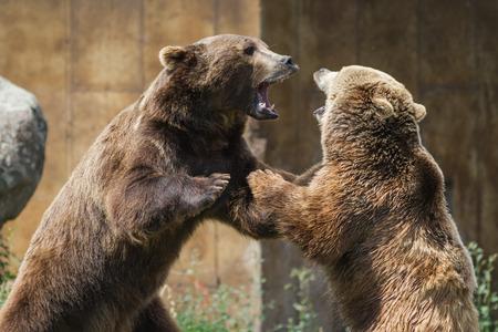 deux jeunes adultes grizzlis jouant agressivement établir la domination