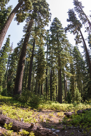 ponderosa: fish eye view of tall ponderosa pines in the oregon forest with bright sunshine