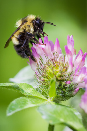 bee on white flower: close up of a bumble bee feeding on a purple flower
