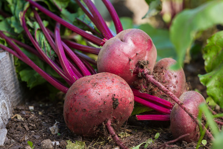 home grown: fresh local organic beets laying on the healthy soil they grew in