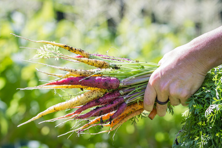 local supply: female hands holding a bunch of home grown carrots just pulled out of the garden Stock Photo