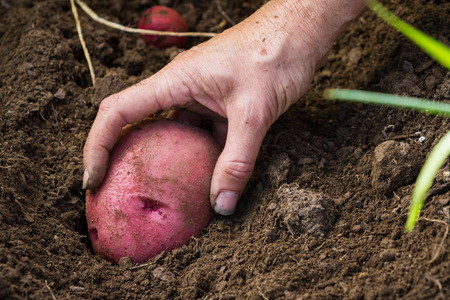 red skinned: hand holding an organic home grown red skinned potato