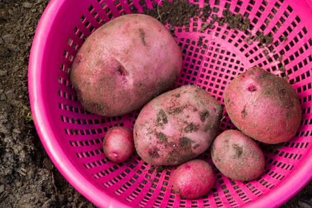 red skinned: organic home grown red skinned potatoes in a pink basket Stock Photo