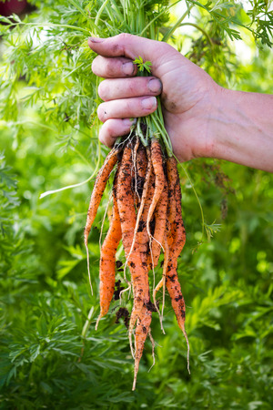 local supply: hands holding a bunch of freshly harvested carrots from a local home garden