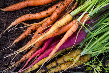 local supply: bunch of organic carrots laying on fertile soil at a home garden Stock Photo