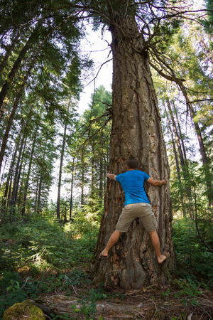 huge tree: young man hugging a very large Douglas fur tree in the Oregon  forest