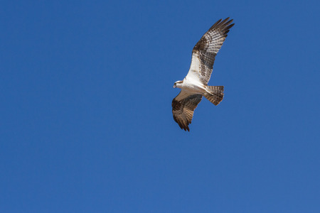 osprey in mid flight with a deep blue sky as a background