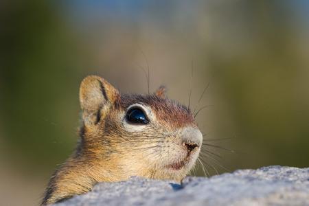 peaking: cute chipmunk peaking from behind a large rock