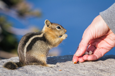 trusting: close up of a hand holding a nut and a trusting chipmunk feeding