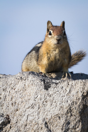 figuring: small chipmunk standing on a large rock looking and figuring out whos watching Stock Photo