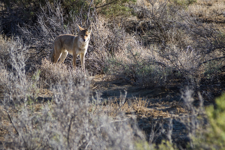 chaco: small wild coyote in the New Mexico dessert near Chaco Canyon